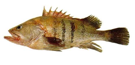 Acanthistius sp.