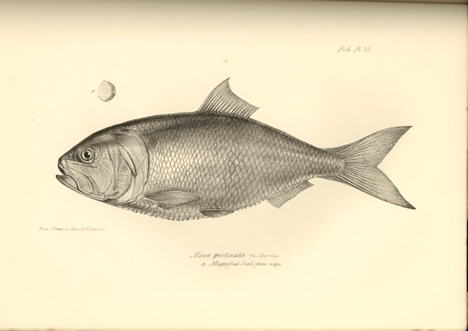 Argentine menhaden