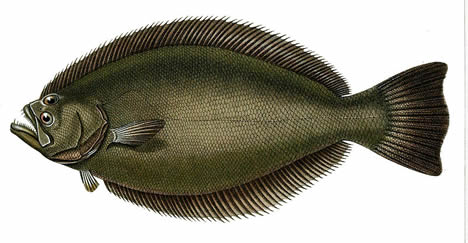 Brazilian flounder