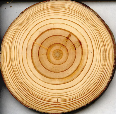 Tree rings in a red pine